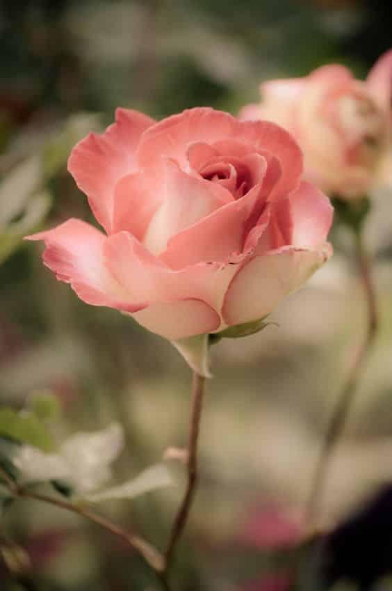 صور اجمل الورود فى العالم للأنستجرام