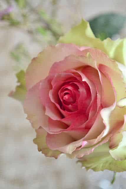 صور اجمل الورود فى العالم تجنن