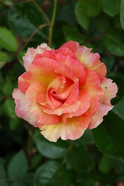 صور اجمل الورود فى العالم كشخه