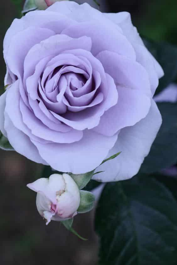 صور عن الورد متنوعة