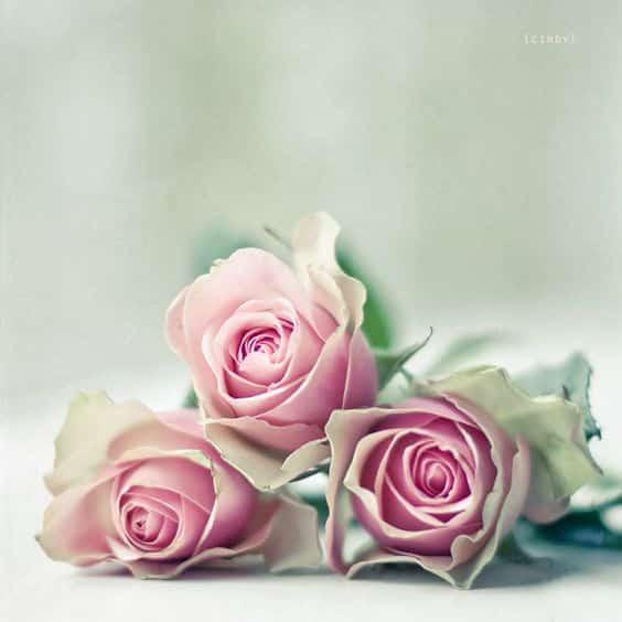 صور حلوه عن الورد عالية الجودة